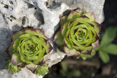 Green succulent plants royalty free stock photos