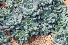 Green succulent plants growing on sand. In garden Royalty Free Stock Image