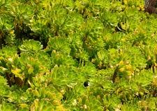 Green succulent plants texture Stock Photo