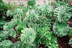 Green Succulent Potted Plants Royalty Free Stock Photography