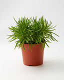 Green Succulent Senecio Senecio Himalaya Stock Image