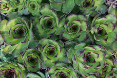 Green succulent texture. Close up green succulent texture background Royalty Free Stock Photo