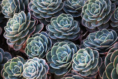 Green succulents. Group of healthy green succulents Royalty Free Stock Photo