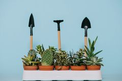 Green succulents in pots and gardening tools. Isolated on grey Royalty Free Stock Photos