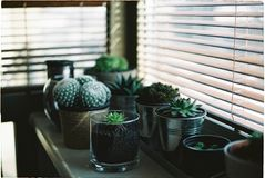 Green Succulents in Pots Beside Window Blinds Royalty Free Stock Image