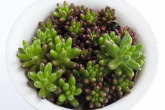 Green succulents. In a white flowerpot Royalty Free Stock Photos