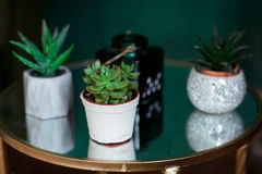 Green succulents, in a white modern vases, glass tabletop.  Royalty Free Stock Photography