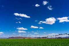 Green Sudan field under the clear blue sky. In Yuma Arizona Royalty Free Stock Image