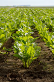 Green sugar beet Stock Photography