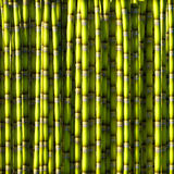 Green sugar cane. Royalty Free Stock Image