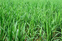 Green sugar cane field Royalty Free Stock Images