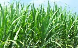 Green sugar cane fields Royalty Free Stock Photo