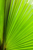 Green Sugar palm leaf Royalty Free Stock Photo