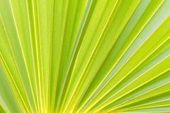 Green sugar palm leaf background Stock Photos