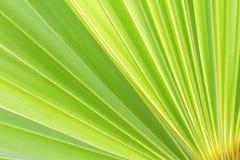 Green sugar palm leaf background Royalty Free Stock Photos