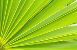 Green sugar palm leaf background Stock Photography
