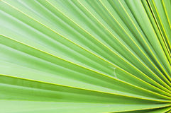 Green sugar palm leaf Royalty Free Stock Images