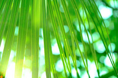 Green sugar palm leaf.  Selective and soft focus Royalty Free Stock Image