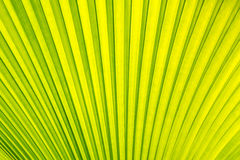 Green Sugar palm leaf texture background. At sun light Stock Images