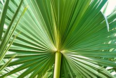 Green sugar palm leaf on white stock images