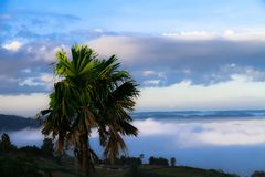 Green sugar palm the white fog covered the mountain behind sunsh. Ine in the morning of winter Stock Image