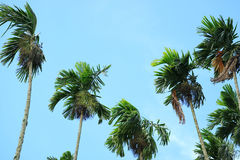 Green Sugar Trees against Blue Sky, Countryside of Thailand. Palm Leaves Royalty Free Stock Image