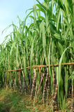 Green sugarcane Royalty Free Stock Image