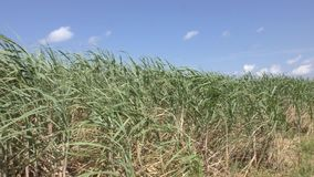 Green sugarcane field stock video