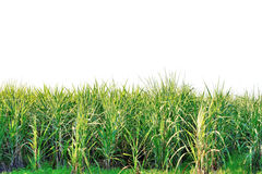 Green sugarcane Royalty Free Stock Photography