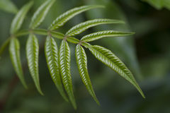 Green Sumac Leaves - Rhus Royalty Free Stock Images