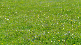 Green summer background with blooming dandelions and wild forget-me-not flowers Royalty Free Stock Images