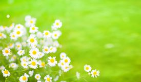 Green Summer background With Daisies flowers. Beautiful nature scenes with blooming medical chamomilles. Alternative medicine. Environmentally friendly stock photography