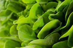 Green summer bunch salad as fresh background. Healthy summer raw food backdrop. Green summer bunch salad as fresh background. Healthy summer raw food backdrop Stock Images