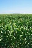 Green summer cornfield stock image