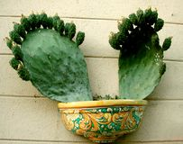 Fruiting prickly cactus planted in a pot Royalty Free Stock Images