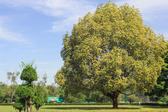 Green summer field with big tree Royalty Free Stock Photo