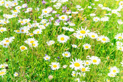 Field of white daisies Stock Photography