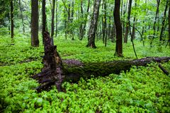 Green summer forest with the fallen tree Royalty Free Stock Images