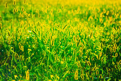 Green Summer Grass Meadow Close-Up With Bright Stock Photo