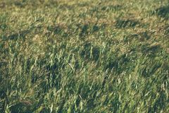 Green summer grass meadow in sunlight. Grass texture and background. Natural and organic backgrounds.