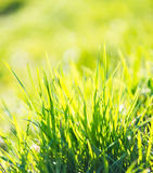 Green summer grass. And sun Stock Images