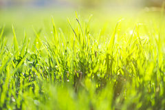 Green summer grass. And sun Stock Photography