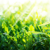 Green Summer Grasses dandelion Stock Photography