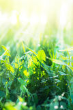 Green Summer Grasses with sunny rays Stock Photos