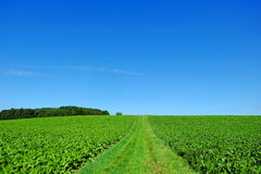 Green summer landscape by blue sky. The lush green colors of large sugar beet fields in summer by a clear blue sky. Arable farming in German countryside Stock Photos