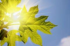 Green summer leaf against sunny sky Stock Image
