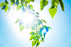 Green summer leaves and blue sky Stock Photos