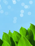 Green Summer Leaves on Blue Sky Background. Green lily-of-the-valley leaves on a warm summer day Royalty Free Stock Image