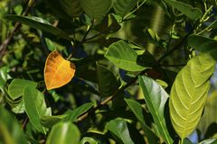 Green summer leaves on tree branch. Green tree closeup. Summer natural photo background. Orange leaf on branch with green leaves. Mango tree greenery. Tropical Stock Image