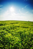 Green summer meadow on bright sunny day. Sunny landscape with gr Royalty Free Stock Photography